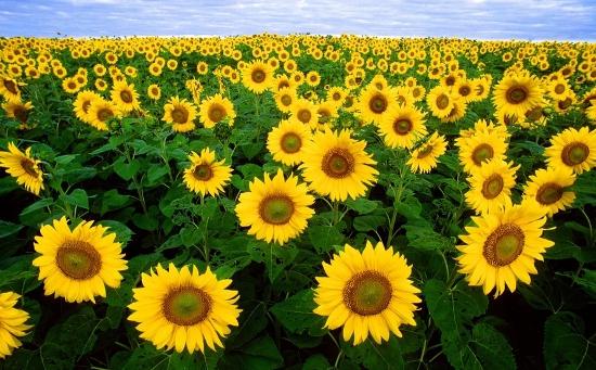 Wandfarben Ideen gelb Sonnenblumen