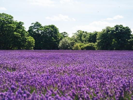 Wandfarben Ideen lila Lavendel