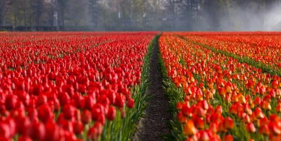 Wandfarben Vorschläge rot Tulpen
